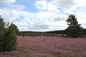 Lüneburger Heide 1